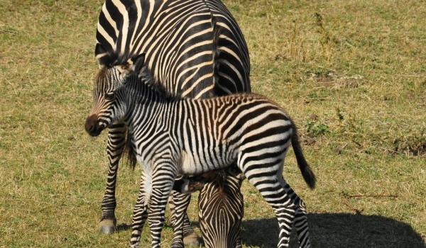 zambia – zebra with its foal