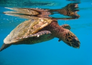 Seychelles – Hawksbill Sea Turtle