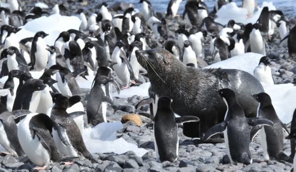 fur seal & Adelie penguins