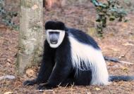 Black & white colobus