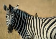 Zebra & Oxpecker