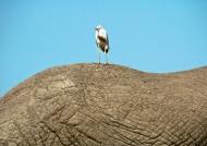 Elephant back for landing