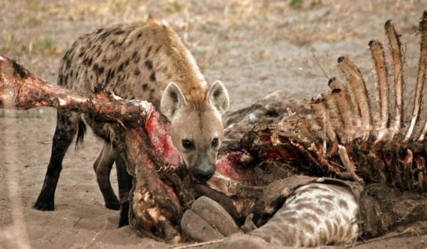 Hyena devoring a giraffe