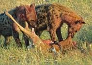 Hyenas devoring an impala
