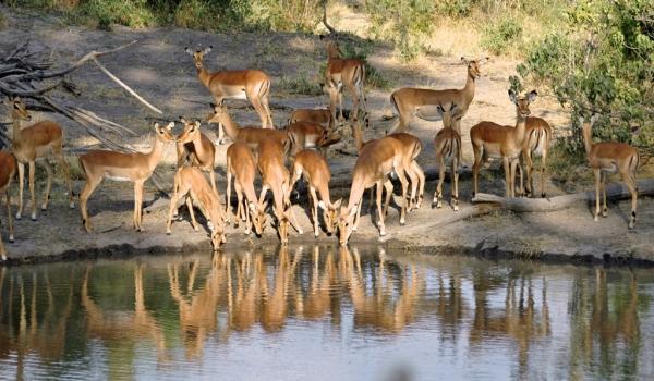 Group of Impalas