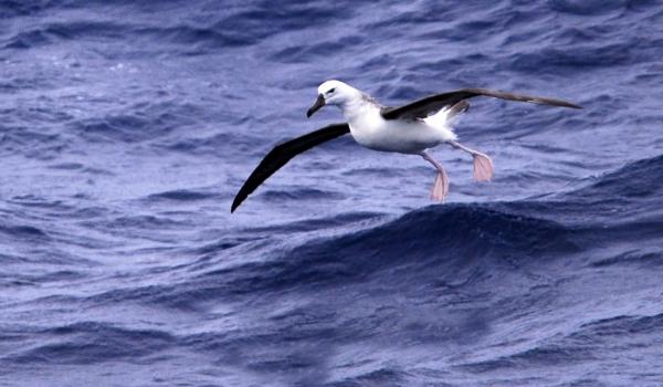 Juvenile Albatros
