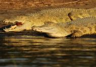 Nile crocodiles-Lake chamo