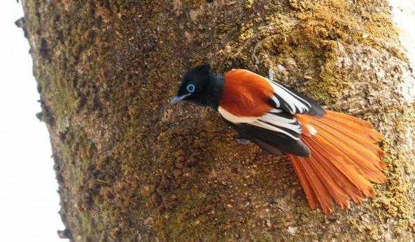 Paradise Flycatcher