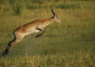 Reedbuck in action