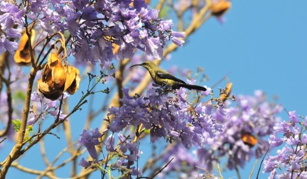 Scarlet-chested Sunbird-female