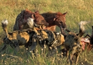 «Sharing» meat with Wild Dogs