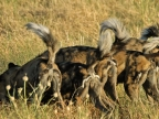 The pack on a prey
