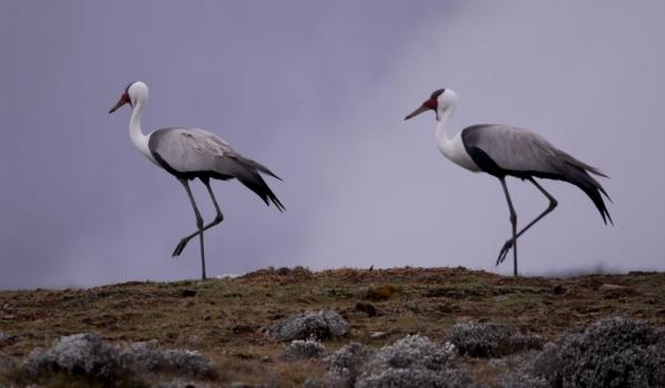 Wattled Cranes