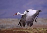 Ethiopia – Wattled Crane