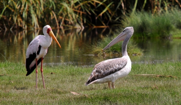 Yellow-billed Stork & Pelican