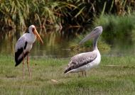 Yellow-billed Stork & Pelican