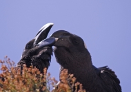 Thick-billed Ravens