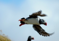 Free Atlantic Puffin
