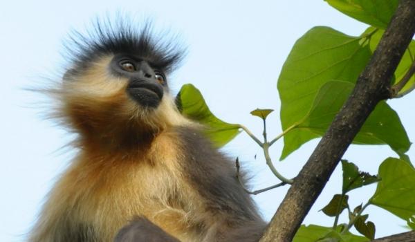 India – Manas NP – Capped Langur