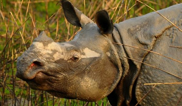 Kaziranga-One-horned Rhino