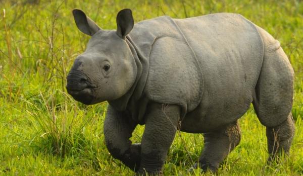 India-Kaziranga NP-Young One-horned Rhino