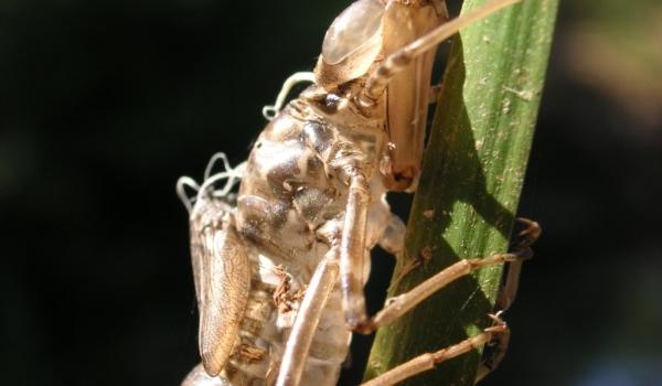 Dragonfly Chrysalis