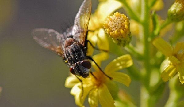 Fly on Aromatic Inula