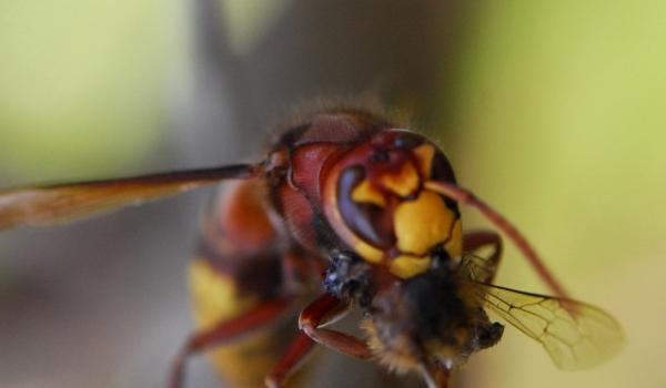Hornet eating a fly