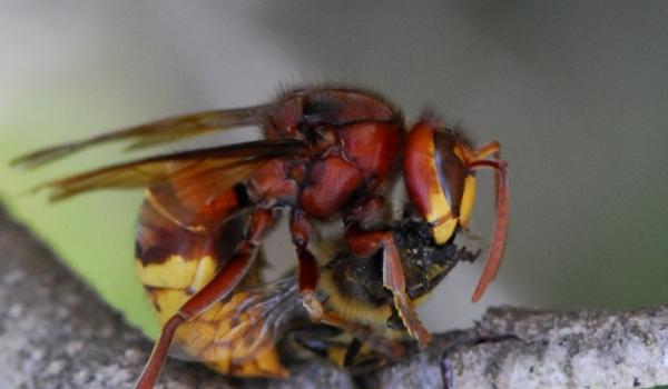 Hornet killing a fly