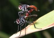 Hoverflies Phasia hemiptera