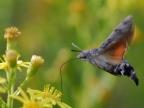 Corsica – Hawk-moth