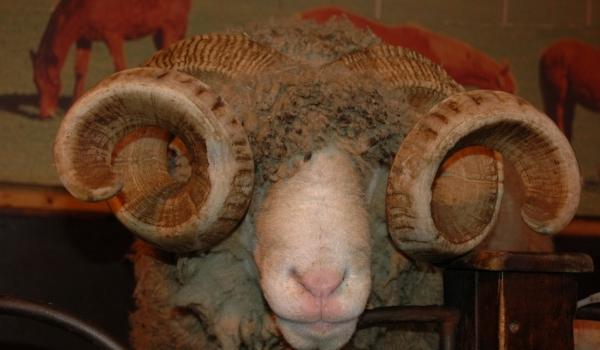 Local sheep