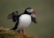 Triumphant puffin