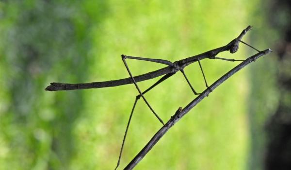 Camouflaged Stick Grasshopper