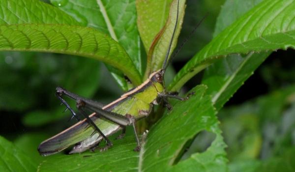 Romaleid Grasshopper