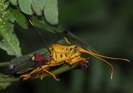 Peru – Amazonia – Grasshopper Hippacris diversa