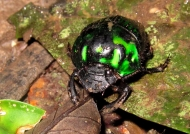 Irridescent Green Scarab