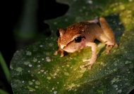 Amazon Hyla Tree Frog