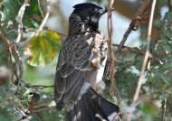 Black-headed Cuckooshrike