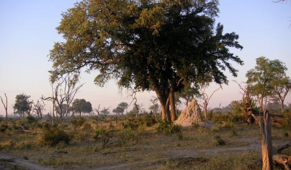 Botswana bush