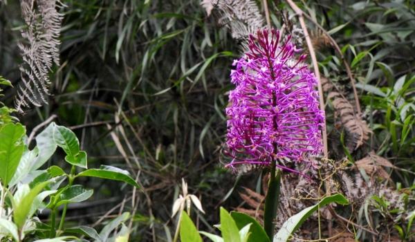 Epidendrum syringothyrsus
