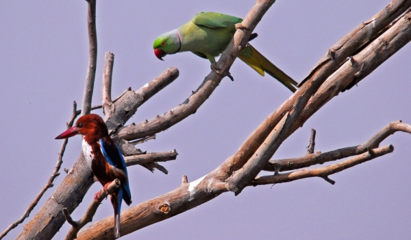 White-throated & Parakeet