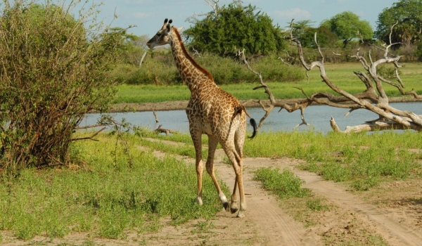 Giraffe looking for water