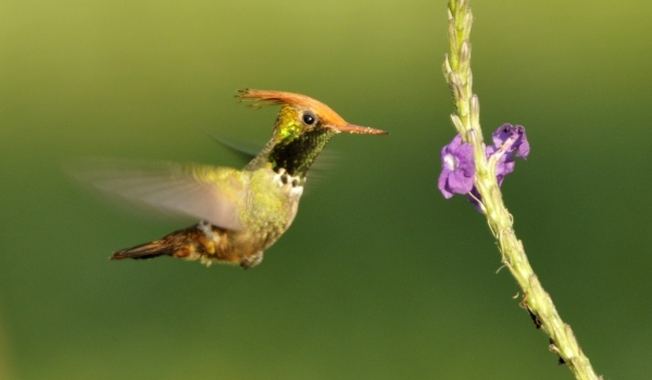 Male Rufous-crested Coquette