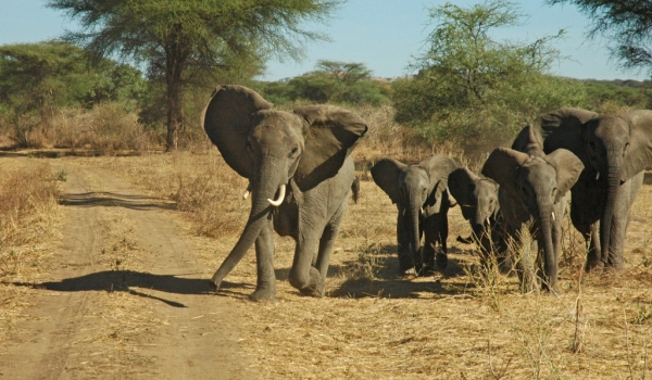 Never disturb elephants!