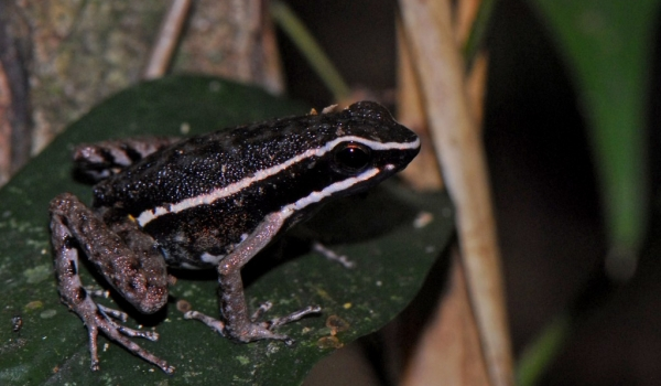Pale-Striped Poison Frog