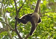 Woolly Monkey