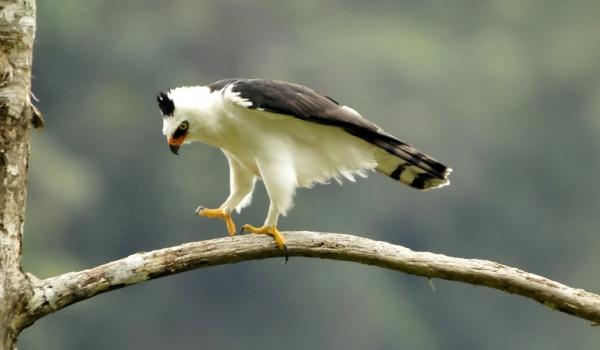 Black & white Hawk-Eagle