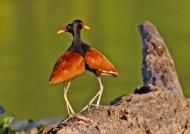 Pantanal – Wattled Jacanas