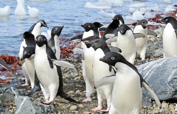 Picture of Adelie Penguins